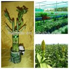 lucky bamboo plant Indoor feng shui plants