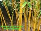 Bambusa Vulgaris Available for Sale