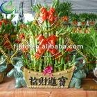 good supplier for lucky bamboo